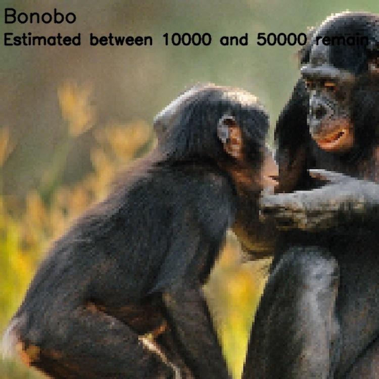 Карликовый шимпанзе, ≈ 10 000-50 000 особей