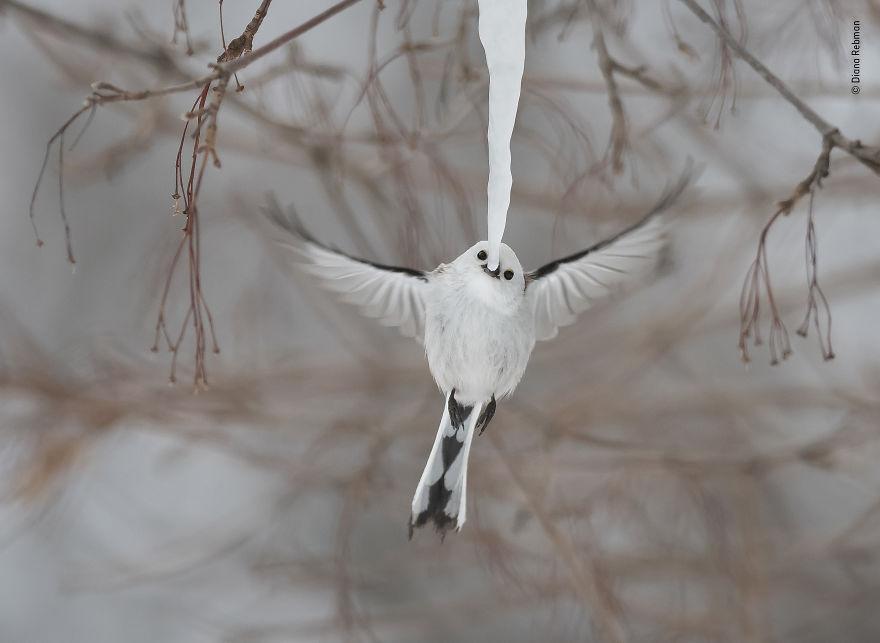Высокая оценка в категории «Поведение: птицы». Фотограф Diana Rebman
