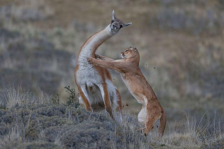 Победитель в категории «Поведение: млекопитающие». Фотограф Ingo Arndt