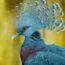 Веероносный венценосный голубь — настоящая супермодель в мире голубей