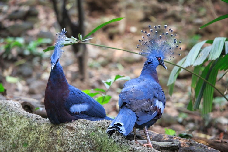 Веероносный венценосный голубь - настоящая супермодель в мире голубей