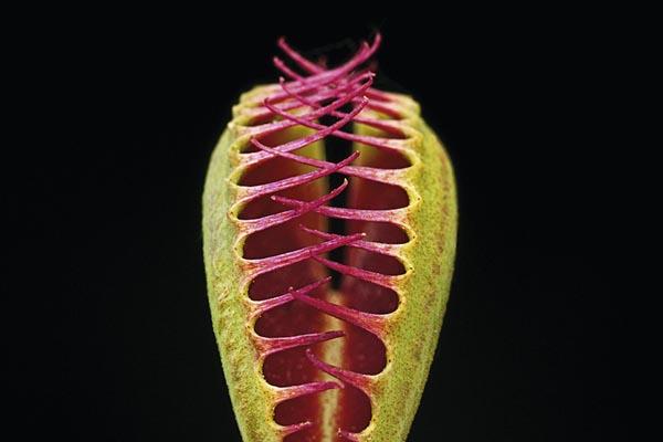 Плотоядные растения: красота самых необычных растений на Земле