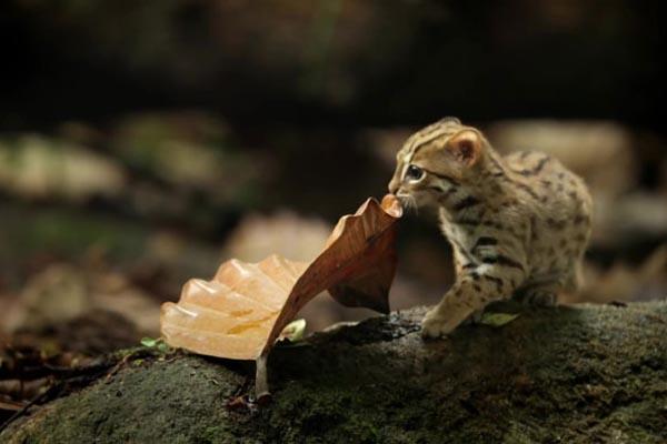 Ржавая кошка — самая крошечная представительница семейства кошачьих