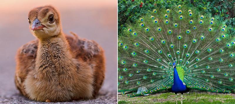 20 видов птиц, которые будучи птенцами выглядят совсем иначе
