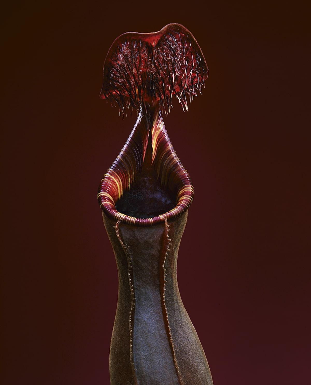 Растение из рода Непентес (Nepenthes Lowii). Является эндемиком острова Борнео