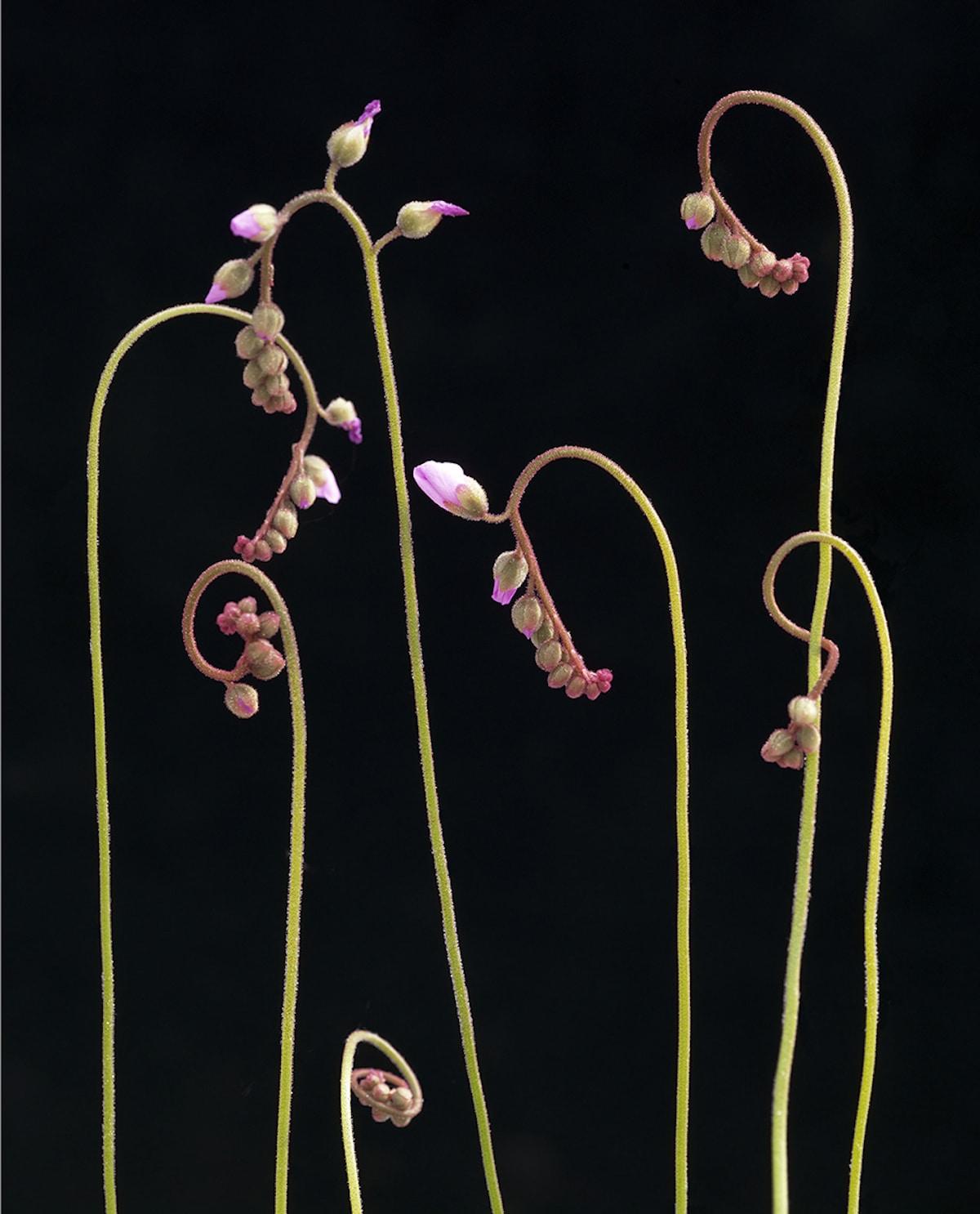 Зародыши растения из рода Росянка