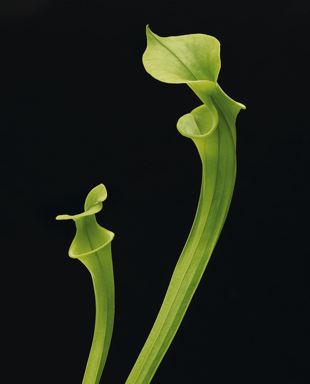 Саррацения жёлтая, эндемик США