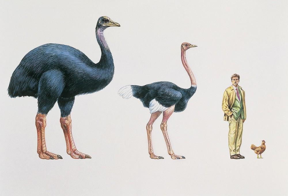 Эпиорнисы - крупнейшие из когда-либо живших птиц на Земле