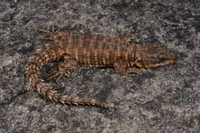 Cordylus phonolithos - вид ящериц из семейства поясохвостов
