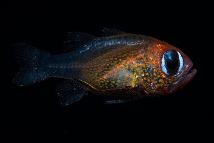 Siphamia Arnazae из семейства лучепёрых рыб