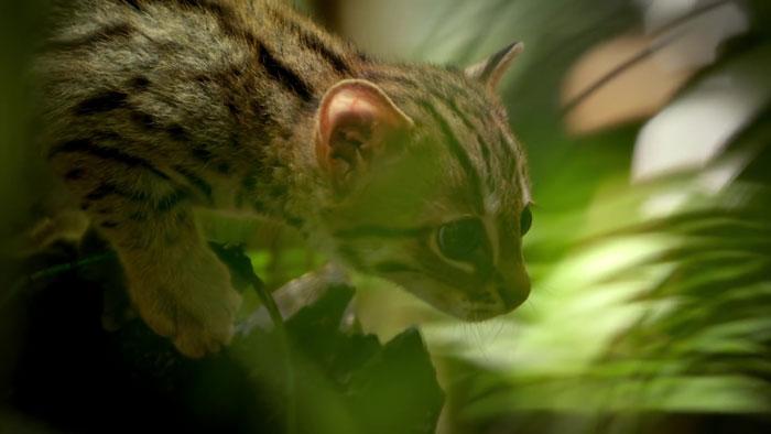 Ржавая кошка - самая крошечная представительница семейства кошачьих
