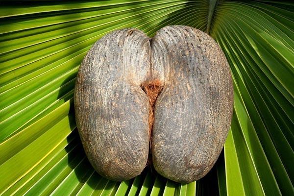 Запретный плод сейшельской пальмы — самой необычной пальмы в мире