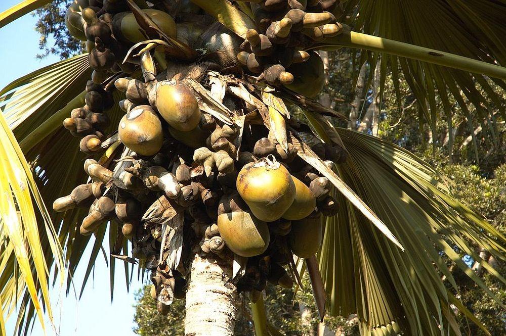 Запретный плод сейшельской пальмы - самой необычной пальмы в мире