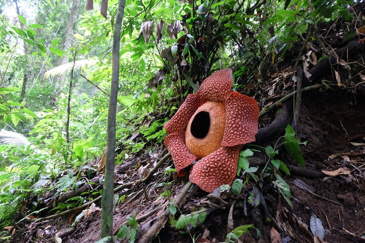 Раффлезия - растение-паразит и самый большой цветок в мире