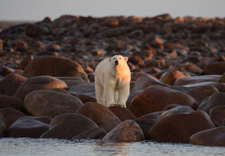 25 интересных фактов о белых медведях