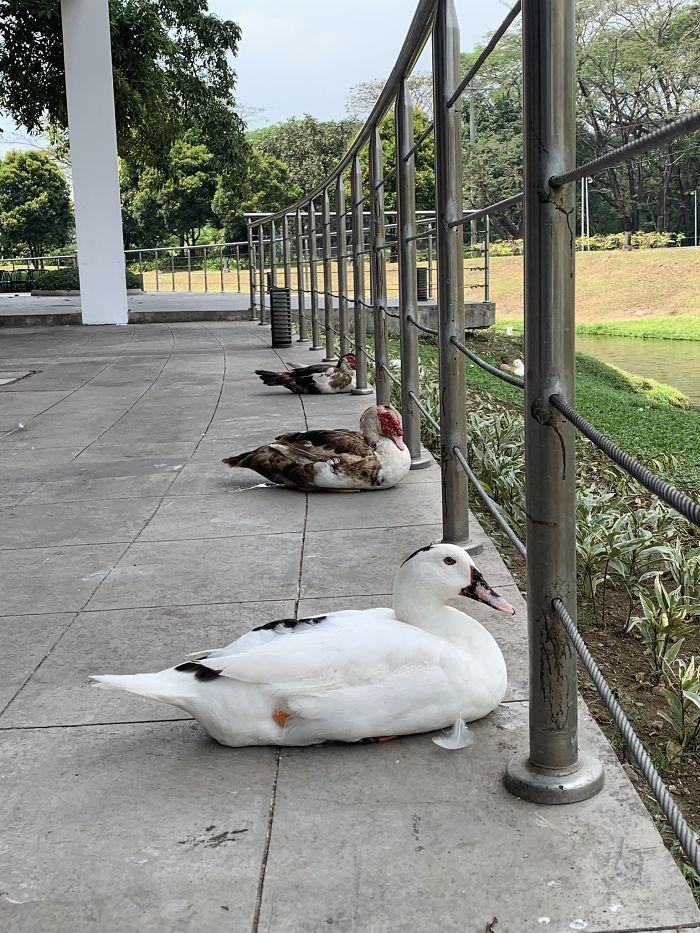 Утки соблюдают социальную дистанцию