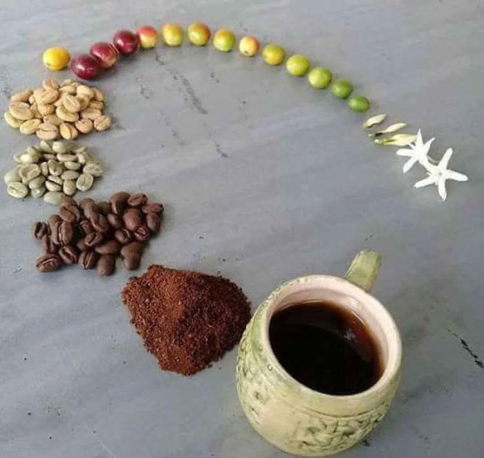 Жизненный цикл кофе