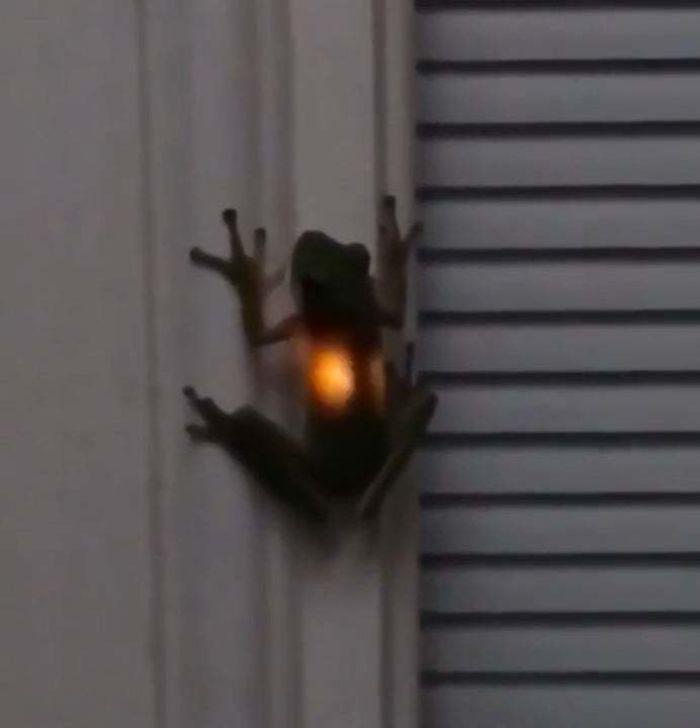 Что случается, когда лягушки съедает светлячка