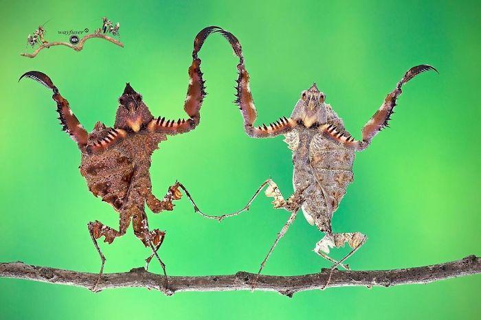 Забавные фотографии богомолов от фотографа Панг Уэй
