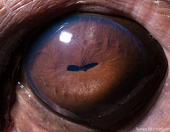 Глаз бегемота
