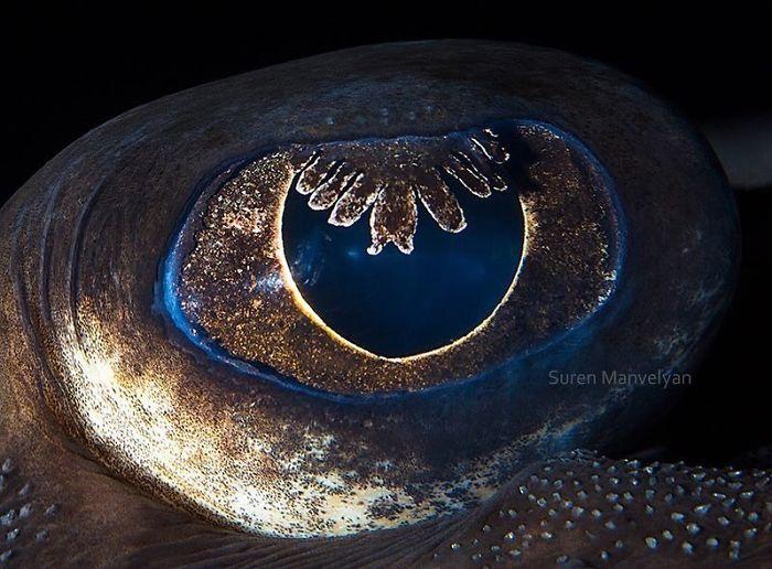 Глаз ската