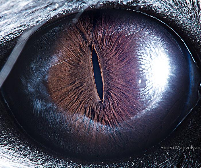 Глаз шиншиллы