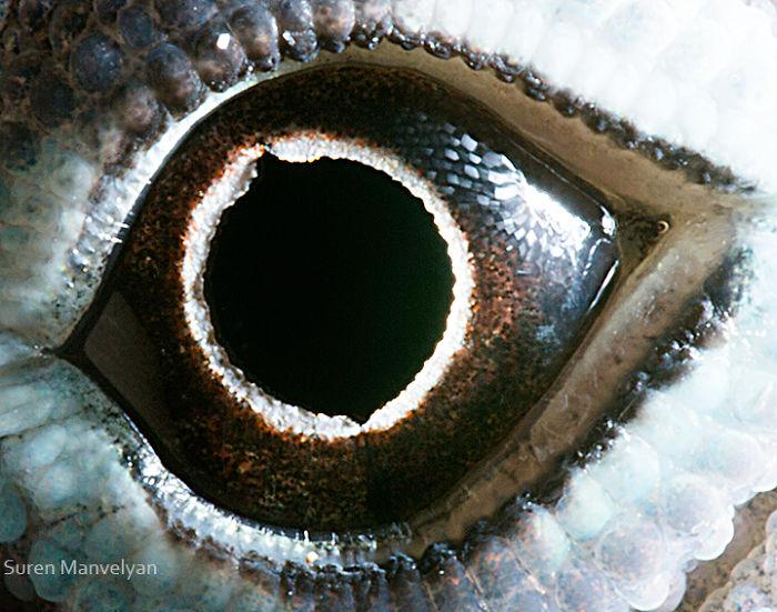 Глаз анолисы