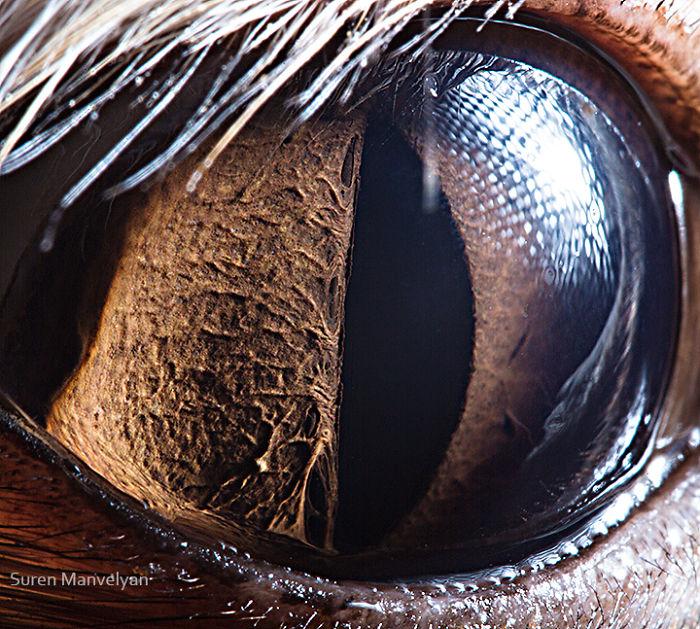 Глаз фенека