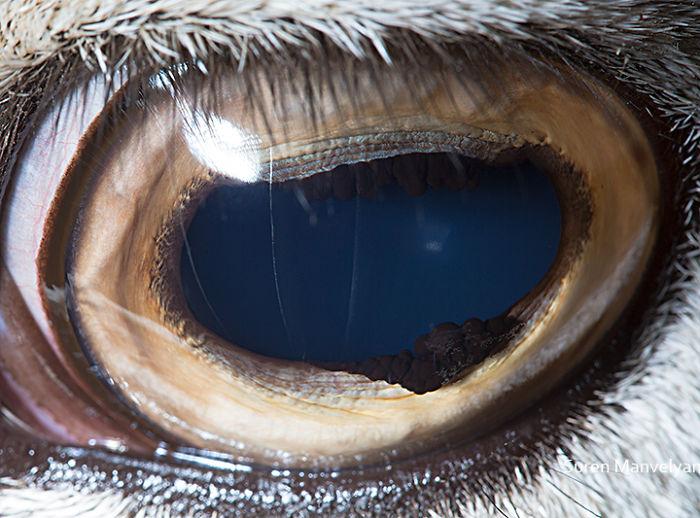 Глаз закавказского горного барана