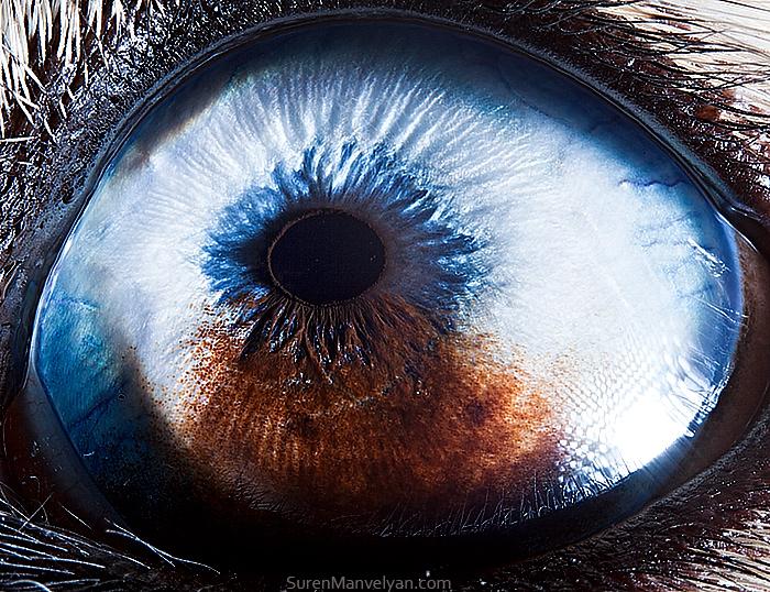 Глаз хаски