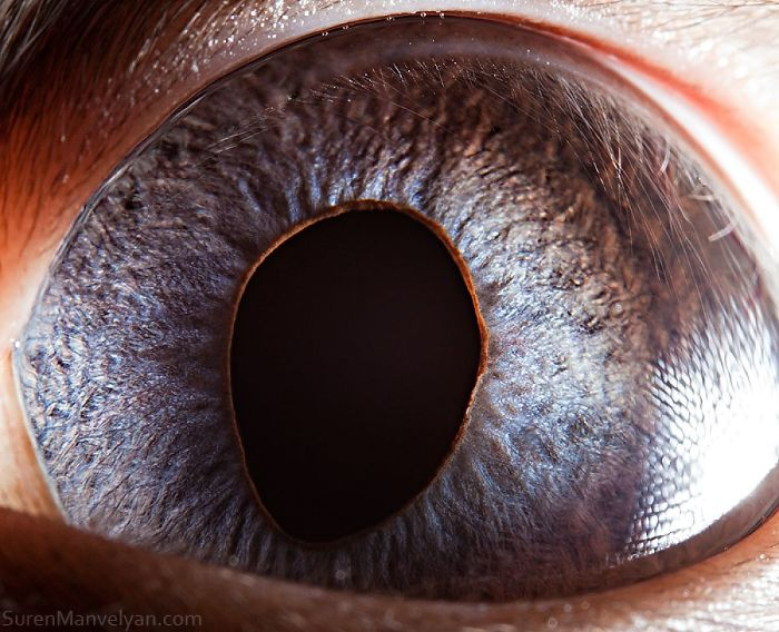 Глаз сиамской кошки