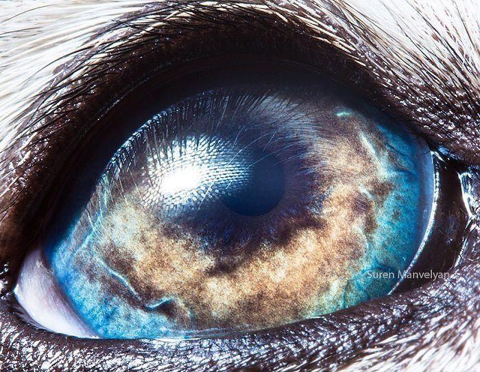 Глаз аляскинского маламута