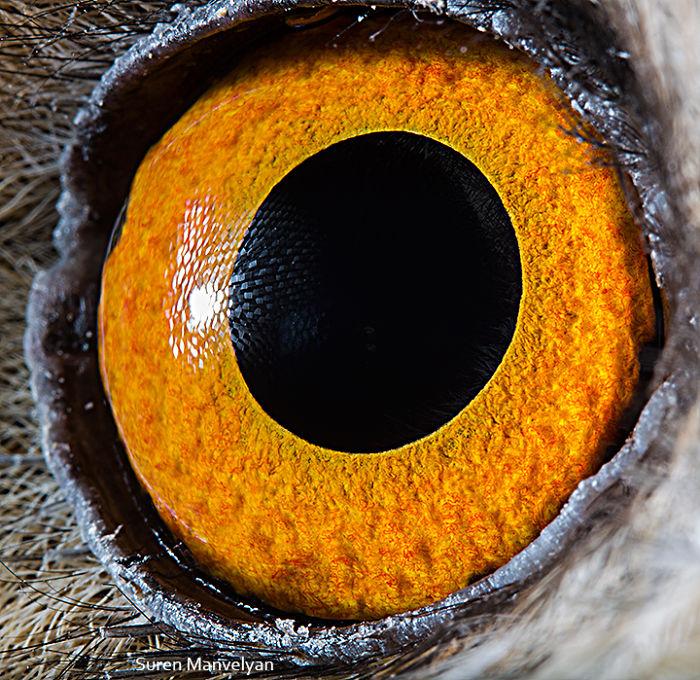 Глаз ушастой совы