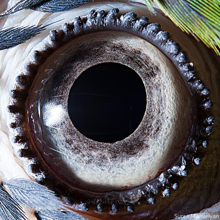 Глаз сине-жёлтого ары