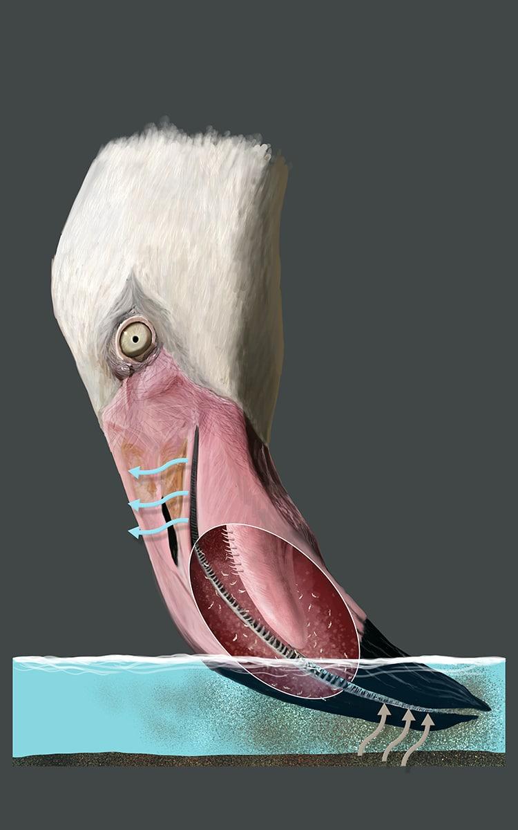 Как едят фламинго