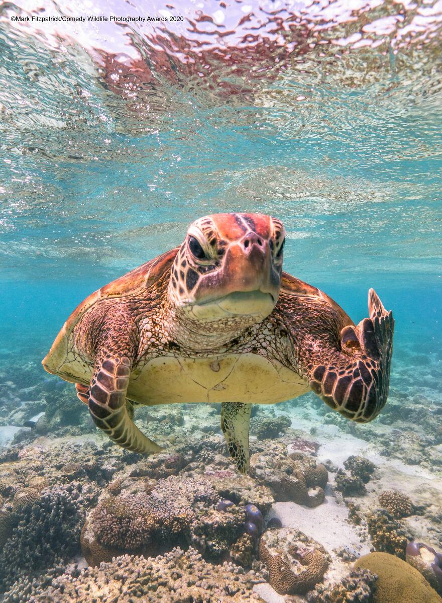 «Черепаха Терри, показывающая средний палец». Фотограф Mark Fitzpatrick