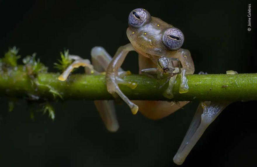 Победитель в категории «Поведение: амфибии и рептилии». Фотограф Jaime Culebras