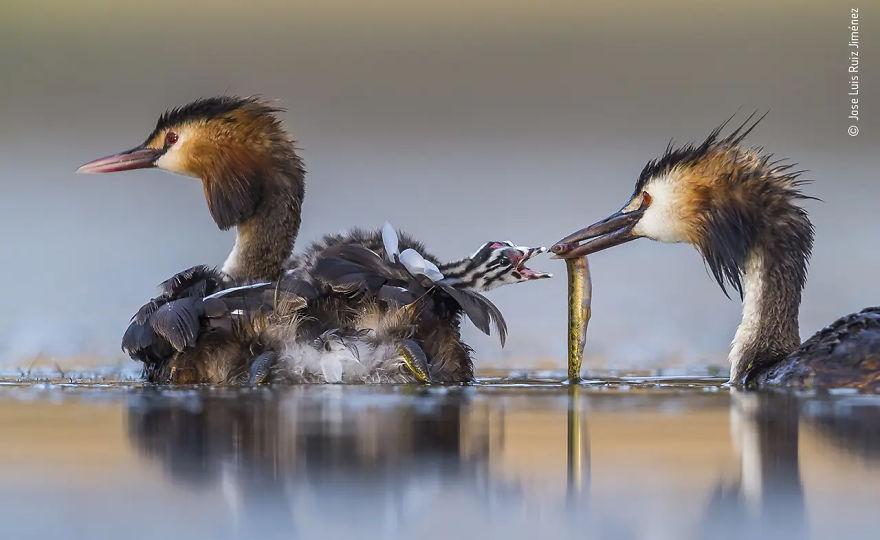 Победитель в категории «Поведение: птицы». Фотограф Jose Luis Ruiz Jiménez