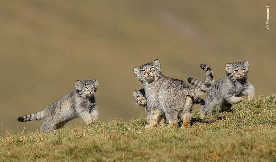 Победитель в категории «Поведение: млекопитающие». Фотограф Shanyuan Li