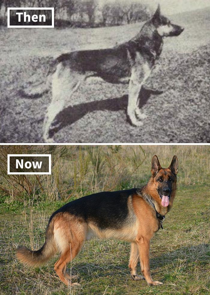 Немецкая овчарка сейчас и 100 лет назад