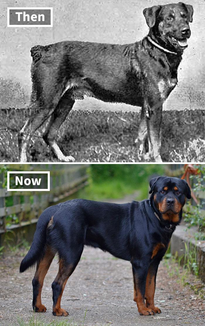 Ротвейлер сейчас и 100 лет назад