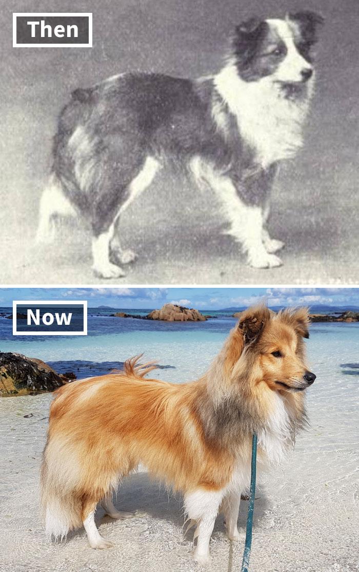 Шелти сейчас и 100 лет назад
