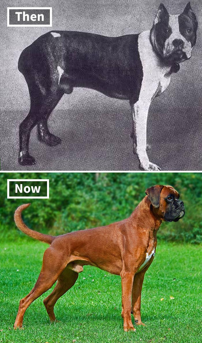 Боксер сейчас и 100 лет назад
