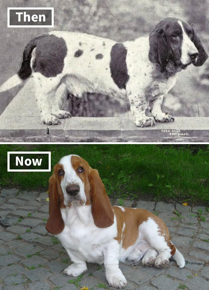 Бассет-хаунд сейчас и 100 лет назад