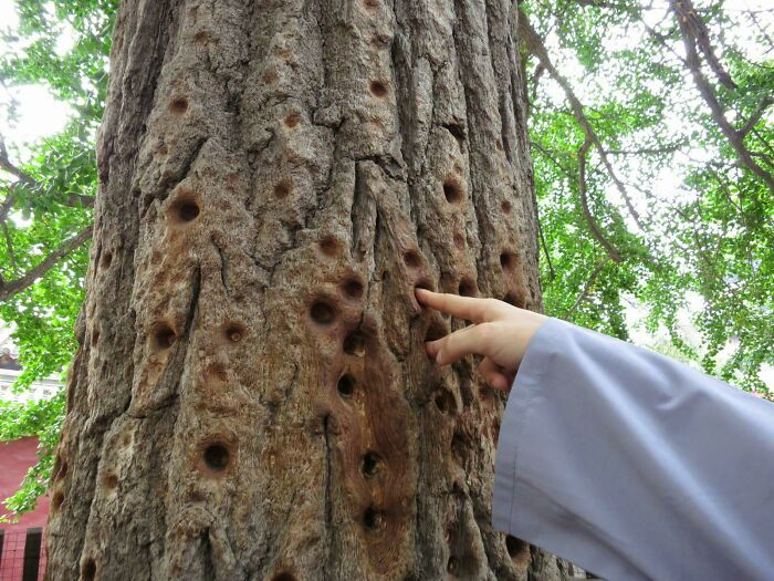 Отверстия, сделанные в дереве монахами Шаолиня
