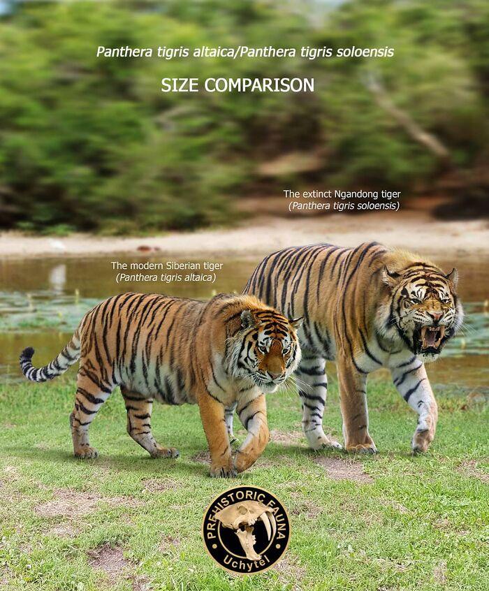 Современный амурский тигр и его вымерший родственник