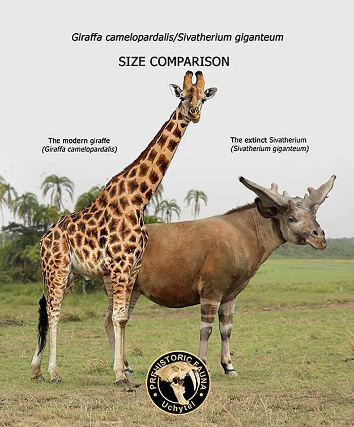 Современный жираф и вымерший сиватерий