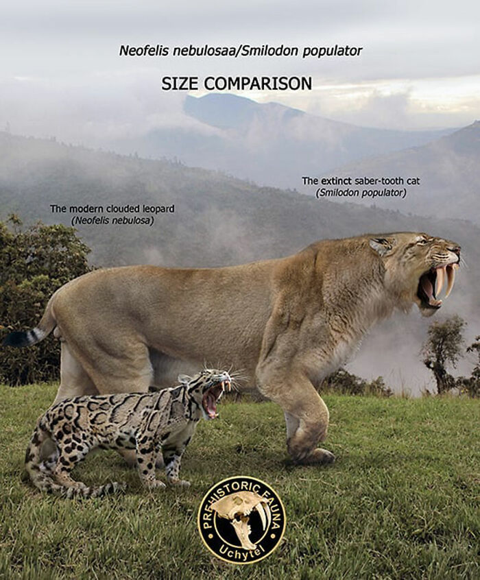 Современный дымчатый леопард и вымерший саблезубый кот смилодон