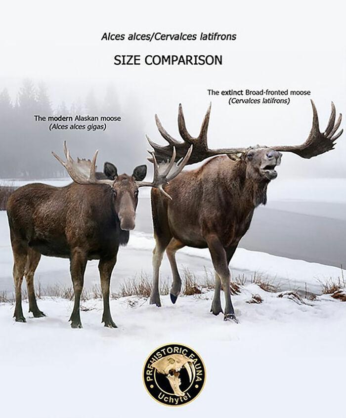 Современный аляскинский лось и вымерший широколобый лось