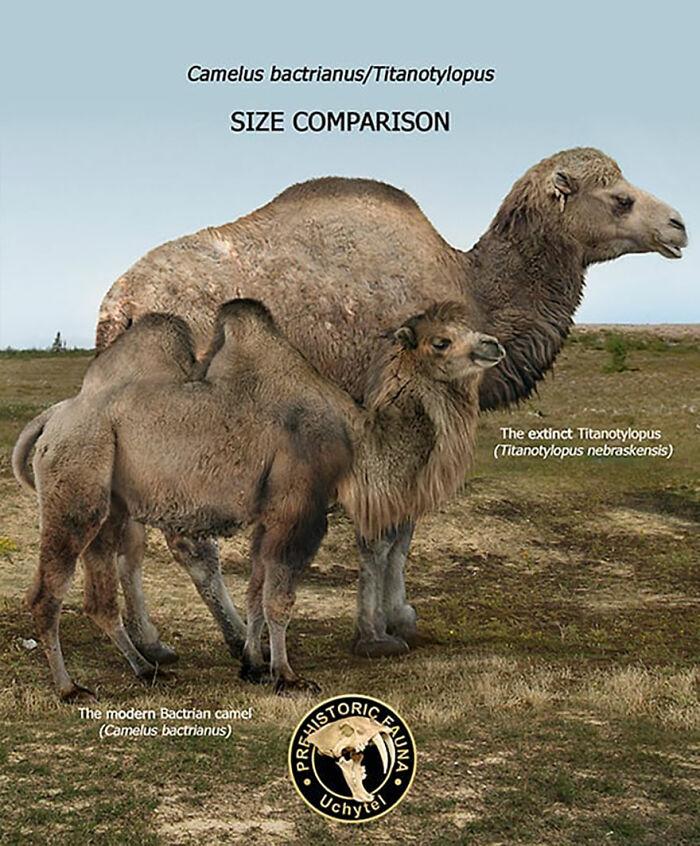 Современный двугорбый верблюд и вымерший титанотилоп